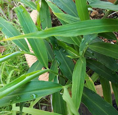 Ingwerpflanze
