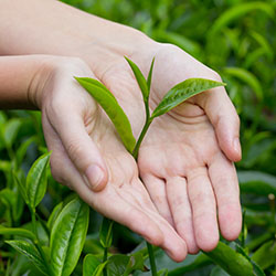Teeblatt nach dem Pflücken