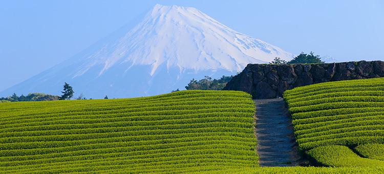 Teefelder in Japan